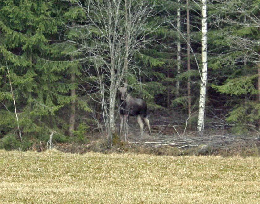 Doch noch Elche in Schweden :)