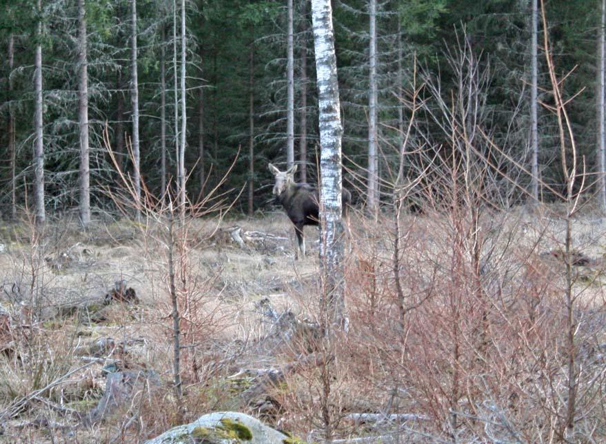Noch ein Elch: Schweden nahe Växjö
